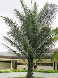 suikerpalm_bomen