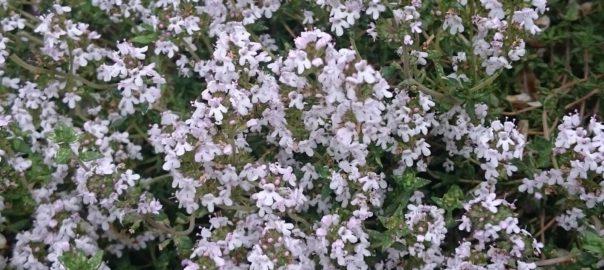 Echgte tijm in bloei in de tuin in mei 2016