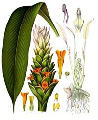 Kurkuma, geelwortel