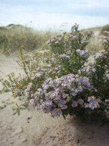 Zeeaster in de duinen door Svdmolen