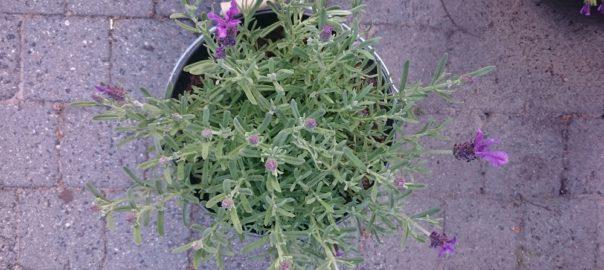 Lavendel van boven gefotografeerd