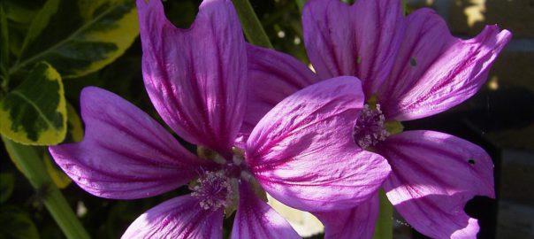 Groot kaasjeskruid in bloei