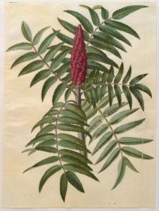 Azijnboom illustratie
